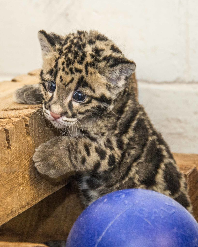 clouded leopard cub janice sveda smithsonian s national z
