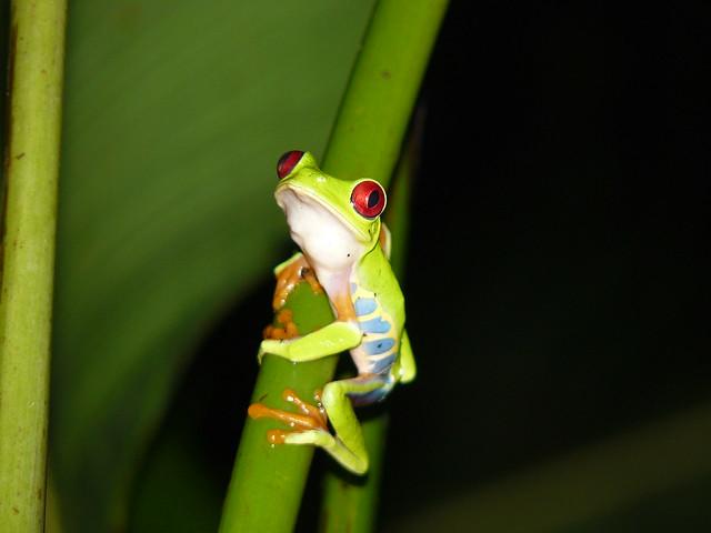 Ranita de ojos rojos en Costa Rica