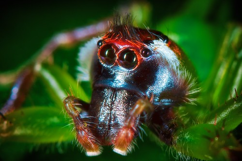 Green jumping spider | by Axon Imagery