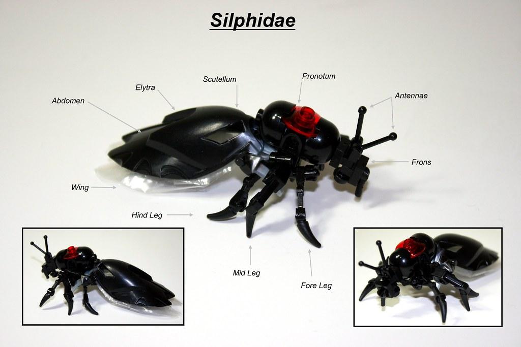 Burying Beetle (Silphidae)