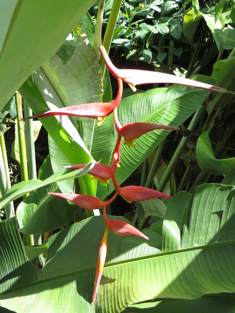 die bananenpflanze im garten bl ht sonja1905 flickr. Black Bedroom Furniture Sets. Home Design Ideas
