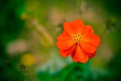 Flower-1 by Rafiqul Awal