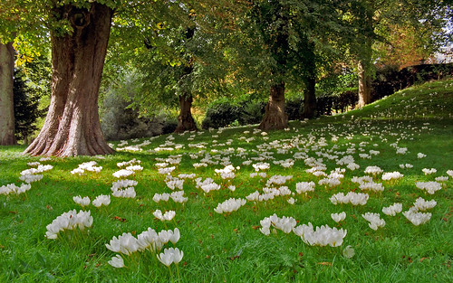 Waddesdon Manor Gardens, Buckinghamshire, England | Drifts of white autumn crocus : Colchicum autumnale (3 of 30) | by ukgardenphotos