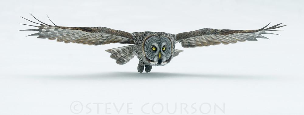 Great Grey Owl Flying great gray owl flying ...