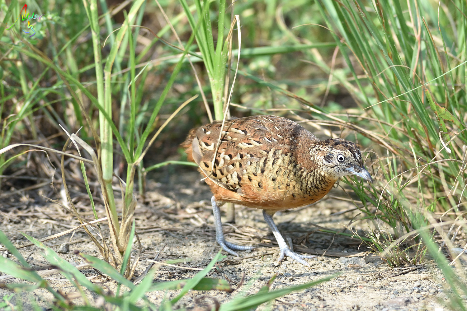 Barred_Butonquail_9303