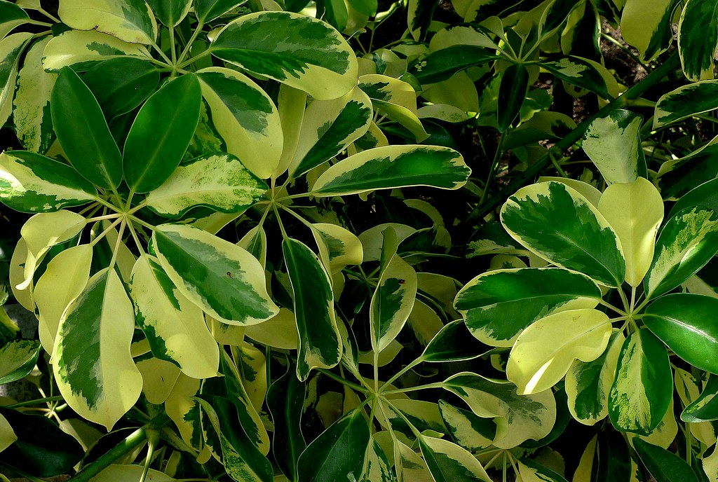 All sizes plantas de venezuela scheflera peque a - Pianta schefflera ...