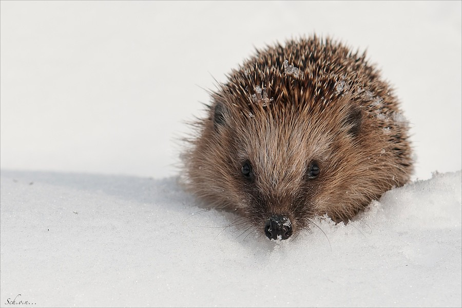 hedgehog in snow erinaceus europaeus igel im schnee o schmidt flickr. Black Bedroom Furniture Sets. Home Design Ideas