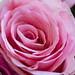 Pink Rose [Explored]