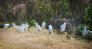 Paynes Prairie Family of Egrets | by Visit Gainesville