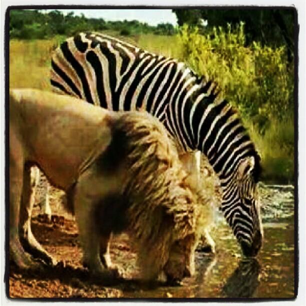 Lion Zebra Friends Friends Lion Zebra