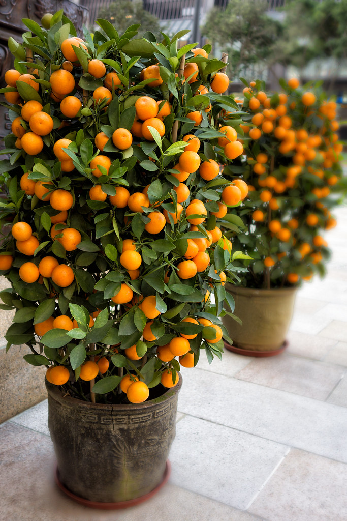 Chinese Orange Tree The Chinese New Year Symbol For Wealth Flickr