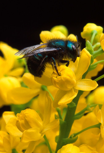 Bee (Osmia ribifloris) sitting on a barberry flower