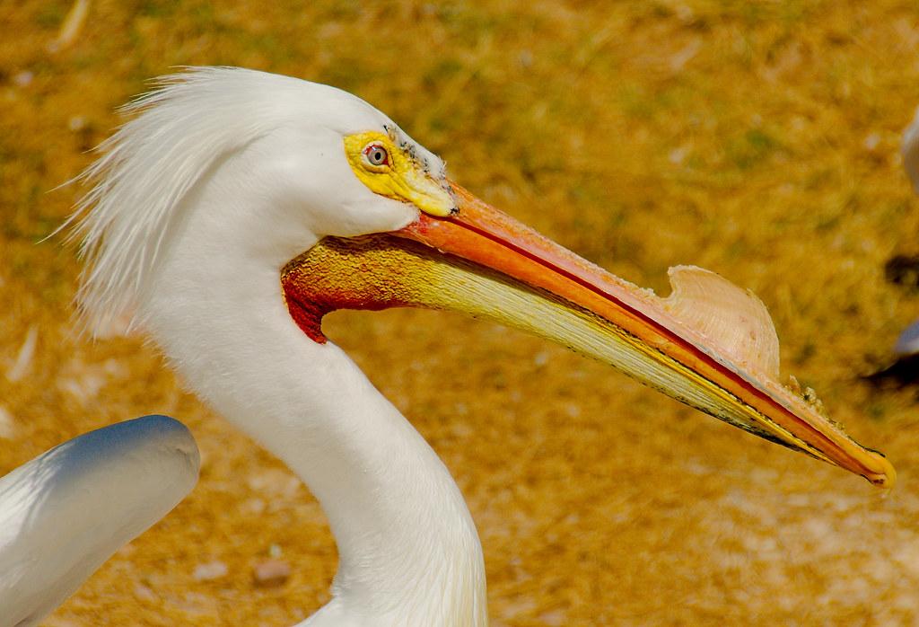 American White Pelican (Pelecanus erythrorhynchos)_22