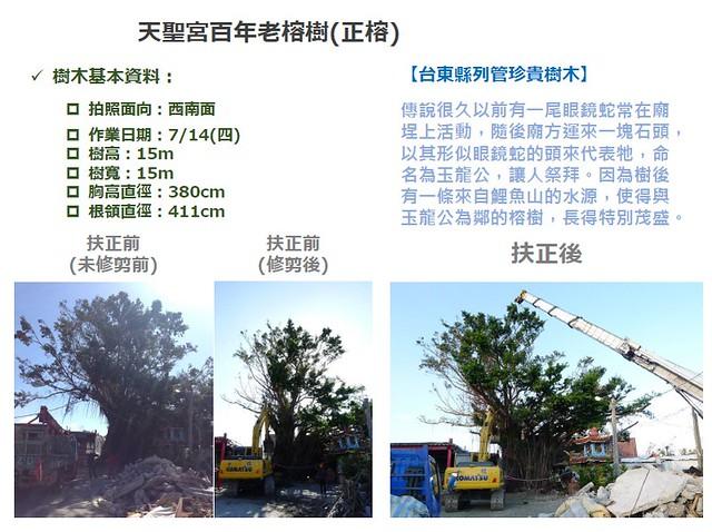 天聖宮百年大榕樹搶救紀錄。圖片來源:台灣都市林健康美化協會。