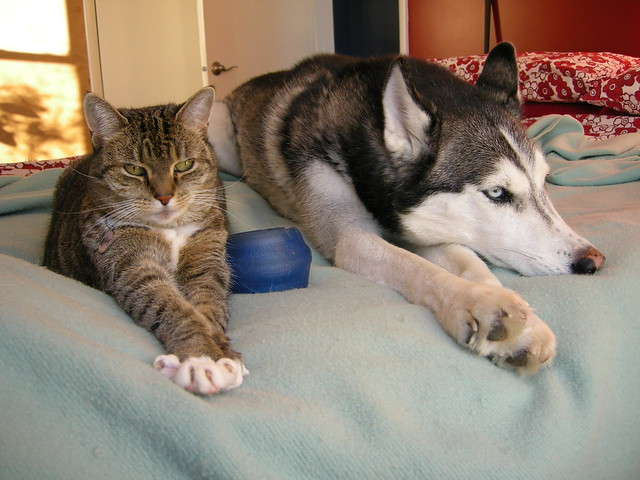 Do Huskies And Cats Get Along
