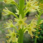 Eremurus spectabilis, Tsaghkadzor, in culture, 2011.06.09 (01)