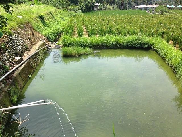 就是這麼潔淨的水質,種出健康的筊白筍,還讓台灣白魚流連忘返!攝影:廖靜蕙