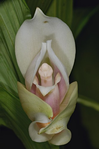 Lycaste skinneri x anguloa uniflora compiled fron 15 for Nombres d plantas ornamentales
