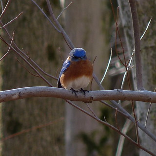 Eastern Bluebird | by Dendroica cerulea