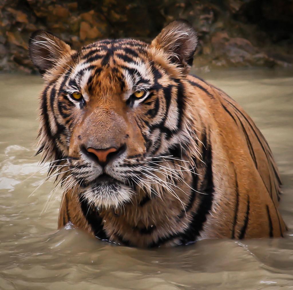 tiger tiger doug88888 flickr