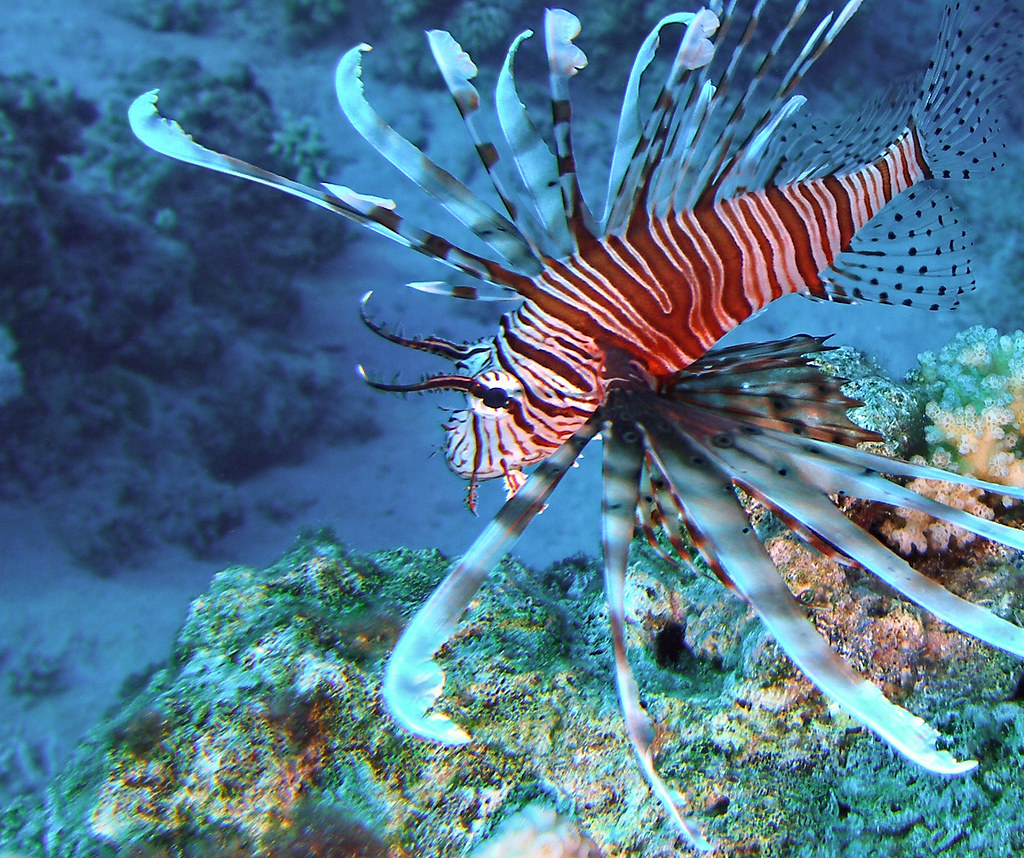 Clearfin Lionfish Pterois Radiata Clearfin Lionfish