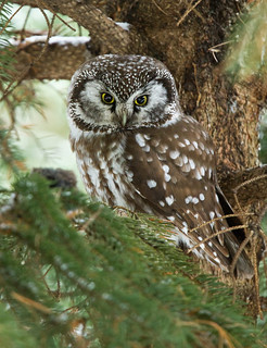 Boreal Owl | by Bill McMullen