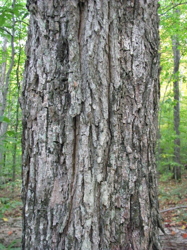 Acer saccharum (bark) - Sapindaceae   Acer saccharum ...