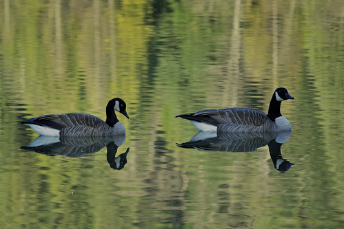Canadian Geese on Buntzen Lake | by picaday