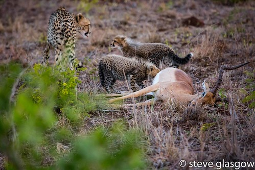 Cheetah and Cubs on kil, Shawu, KNP South Africa | by Steve Glasgow