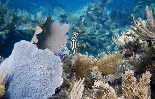 Fish pee helpful in maintaining healthy coral