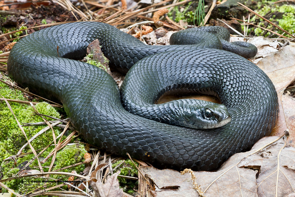 Eastern glass lizard besides Nature Season 33 Animal Homes as well 8424128694 additionally Giant Snake Found Scams Facebook additionally Peregrine Falcon Wildlife Wallpapers. on types of snakes in north carolina