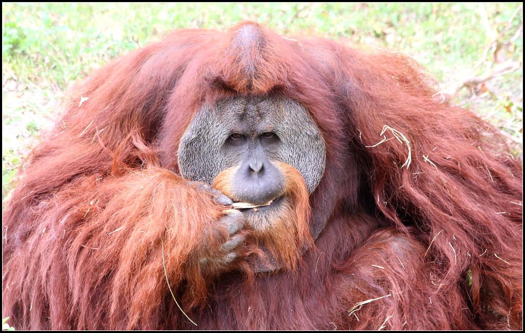 Sumatran Orangutan Region Asia Male Sumatran