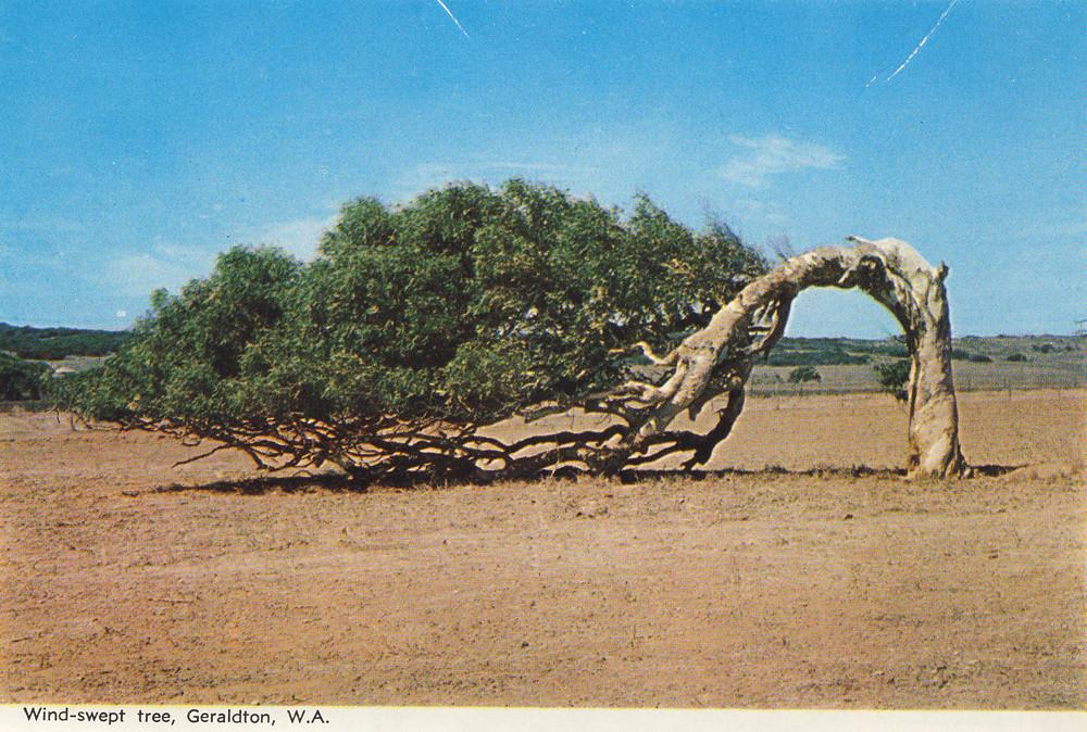 Windswept tree in Geraldton, Western Australia | Aussie ...