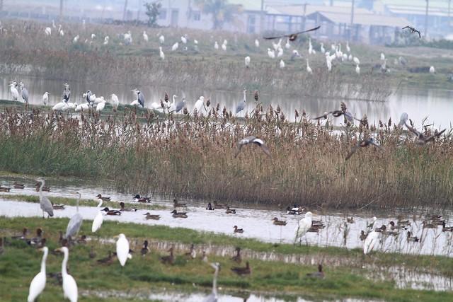 茄萣濕地生態熱鬧豐富,不管什麼季節都可以很容易觀察鳥類。圖片來源:茄萣生態文化協會國際學者觀察到來台候鳥增加,肯定台灣在濕地保育上有成果。圖為茄萣濕地豐富的生態,不管什麼季節都可以很容易觀察鳥類。圖片來源:茄萣生態文化協會。