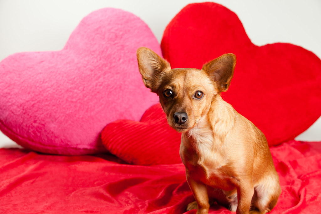 valentines day mixed breed brown dog by found animals - Valentines Animals