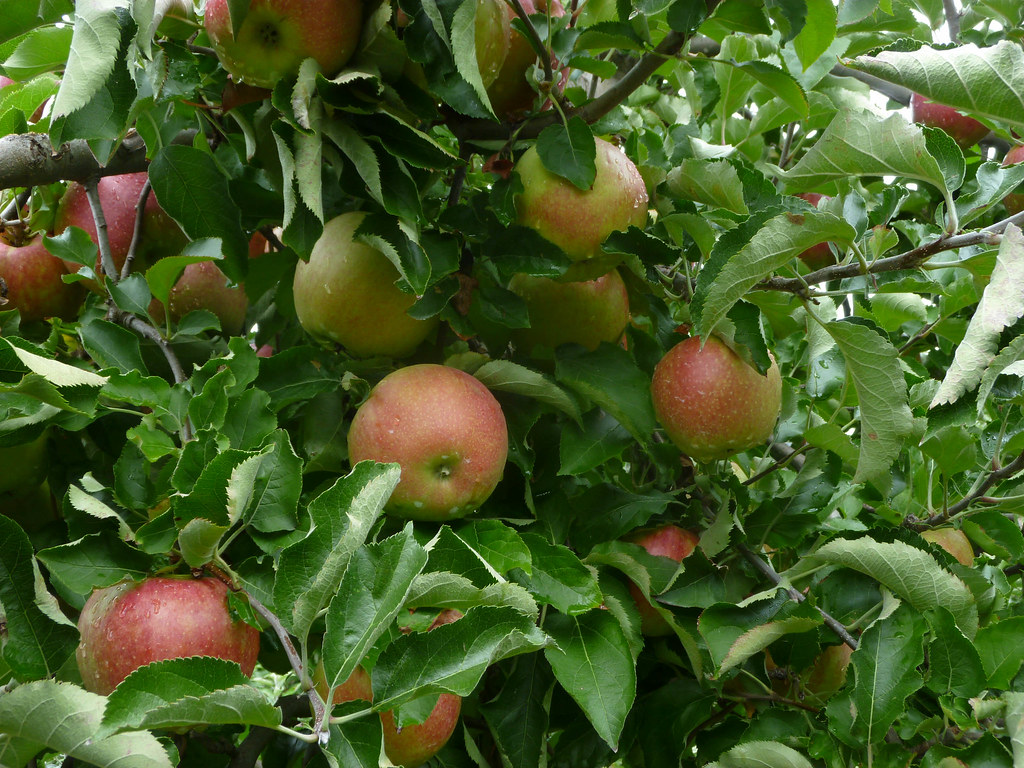 Image result for berlin apple orchards