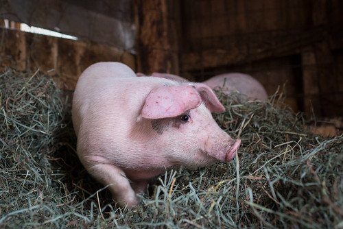 Rye the Pig | by goingslowly