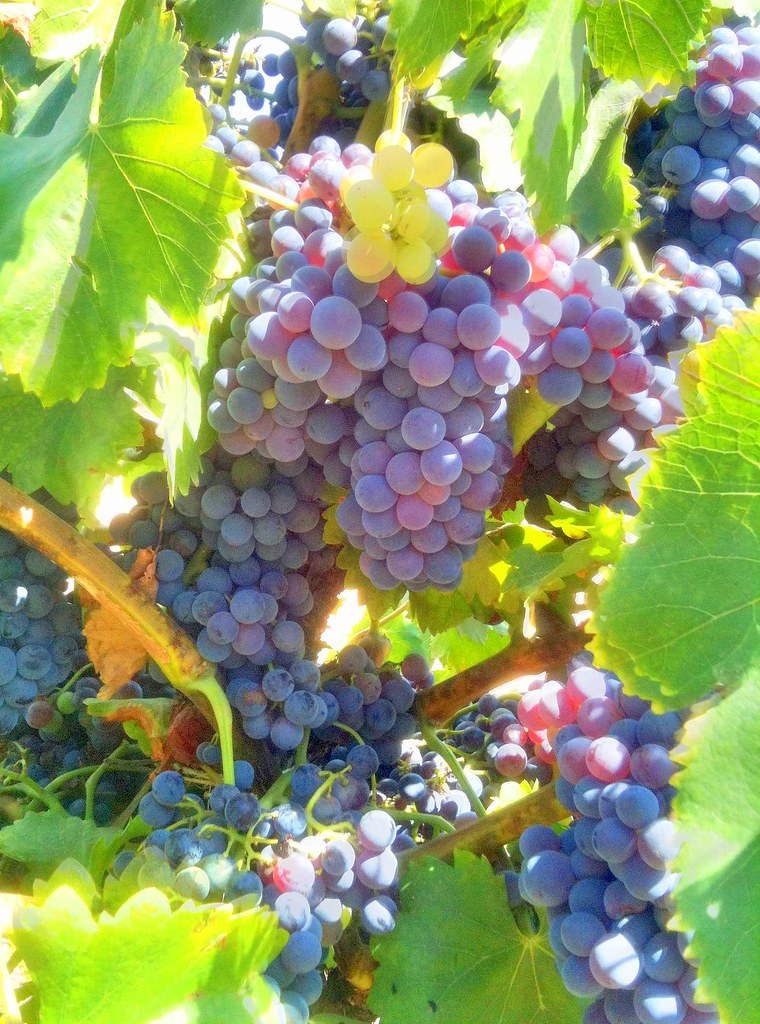 Southern california wine grapes southern california wine for Angel thai cuisine riverside