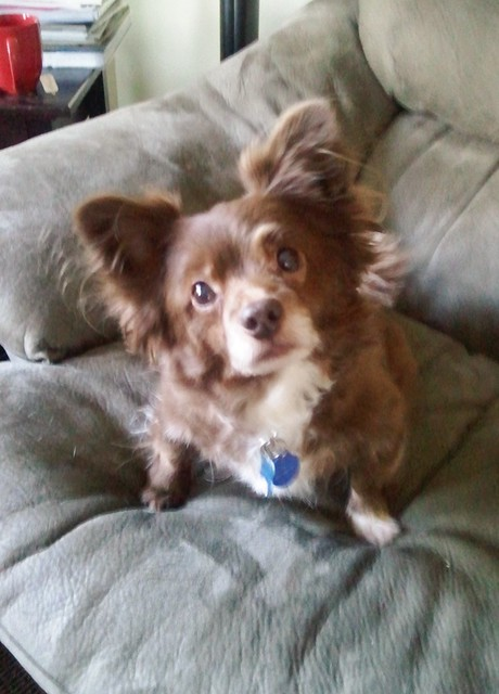Lost - brown chihuahua pomeranian mix dog | Flickr - Photo ...