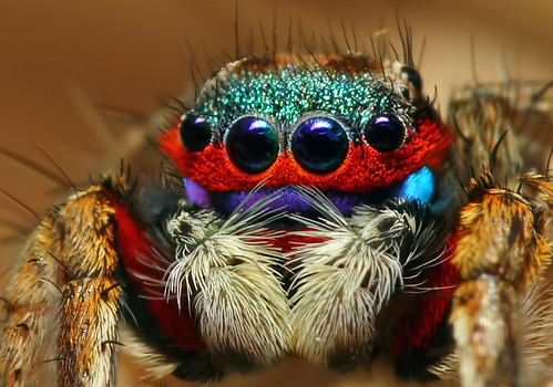 Colorful jumping spider - photo#33
