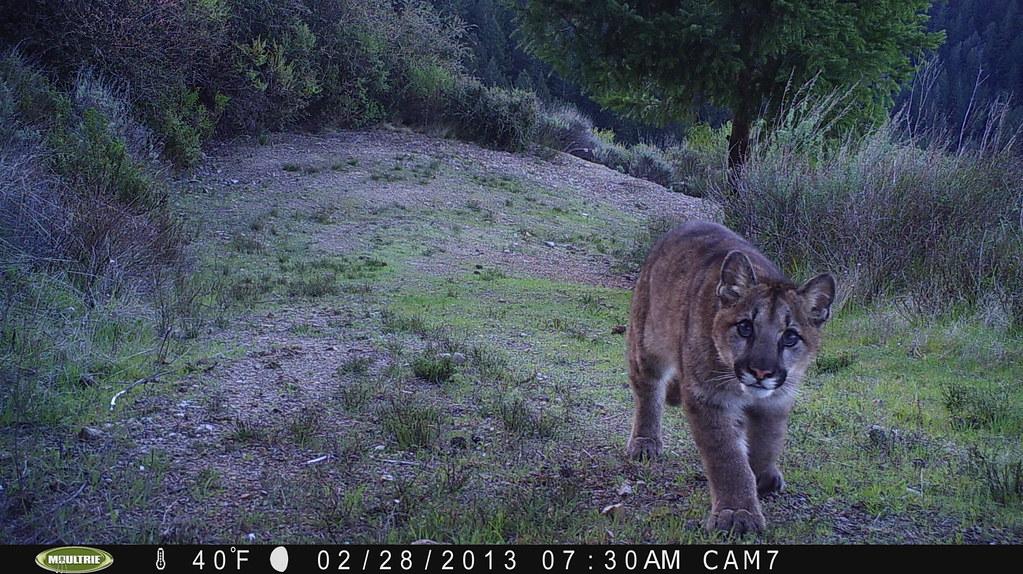 Mountain Lion 2 28 2013 Taken By Motion Sensor Camera Fo