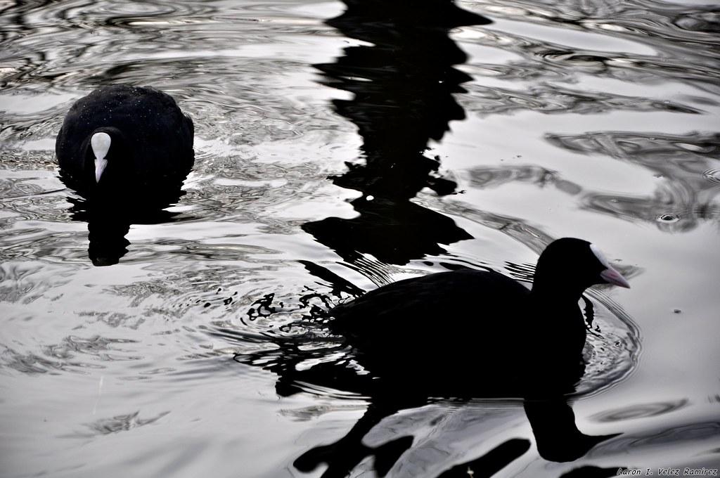 Jesus chickens swimming in mercury chickens water for Swimming chicken