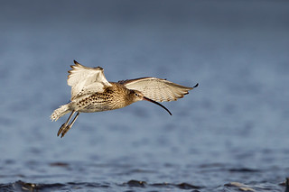 Curlew | by birdtracker