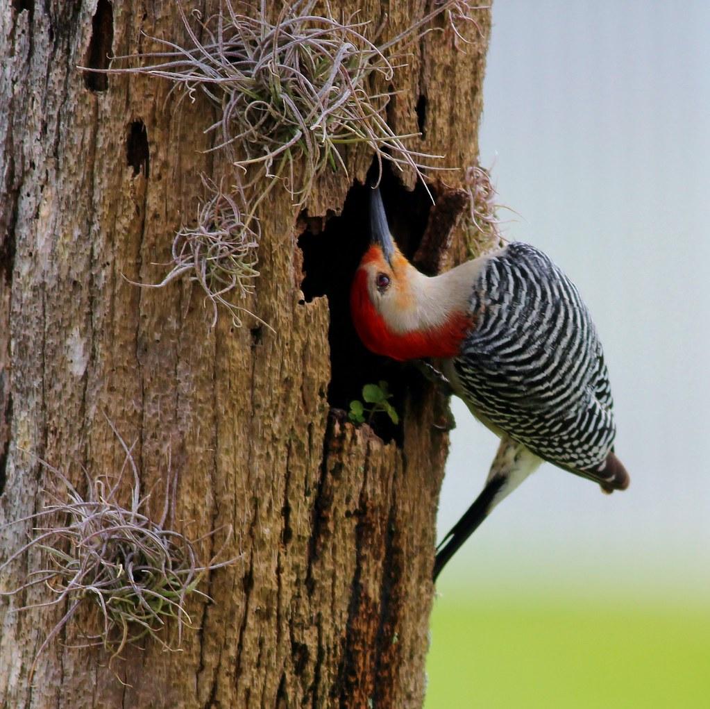 Red Bellied Woodpecker Babies Red Bellied Woodpecker Quot Hmmm