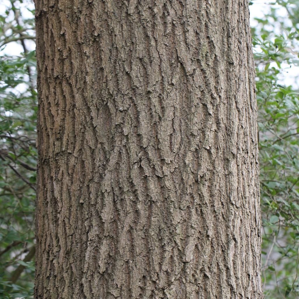 Fr ne commun fraxinus excelsior le rev tement rugueux de flickr - Reconnaitre les arbres par leur tronc ...
