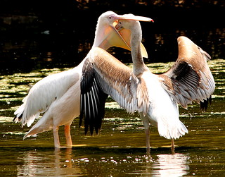 Rosy Pelican feeding her chick | by Arsh_86
