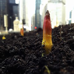 Spring tulips are sprouting in Chicago