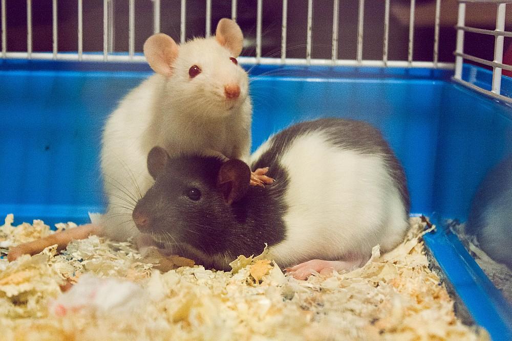 Mladé potkany. Ilustračná fotografia. Fotografia: Tupá Lucia