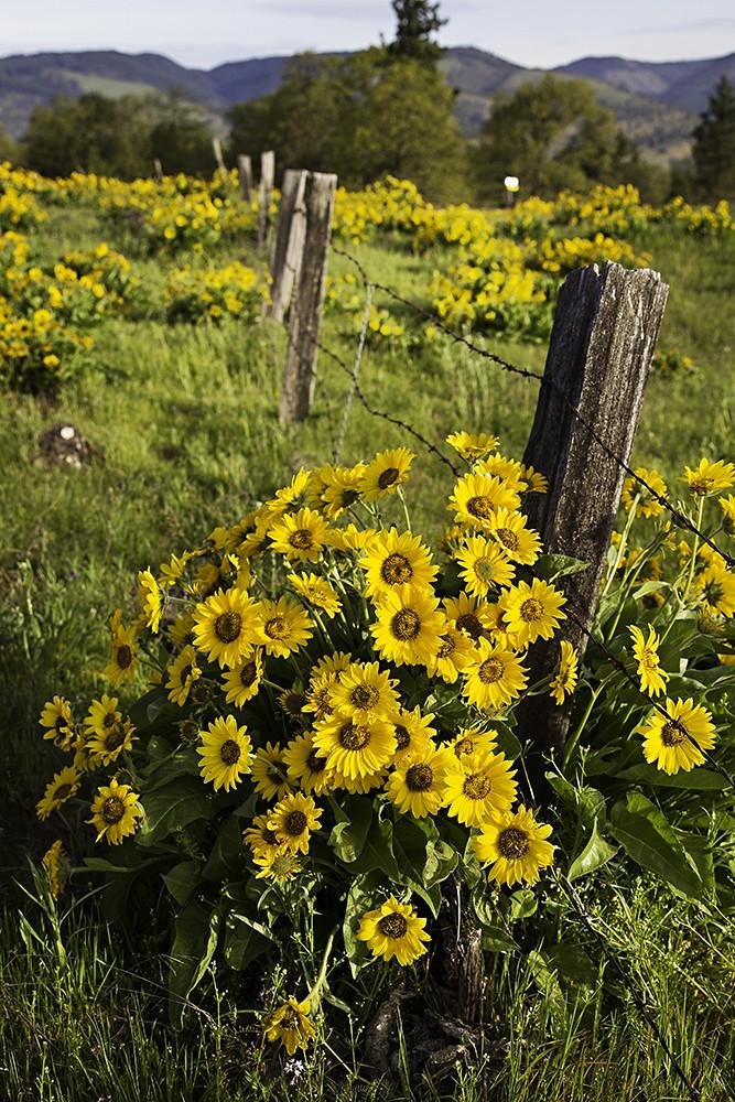Redemption Wild Flowers Of Oregon Went To Rowena Crest