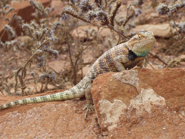 western fence lizard (Sceloporus occidentalis) | Studies ...